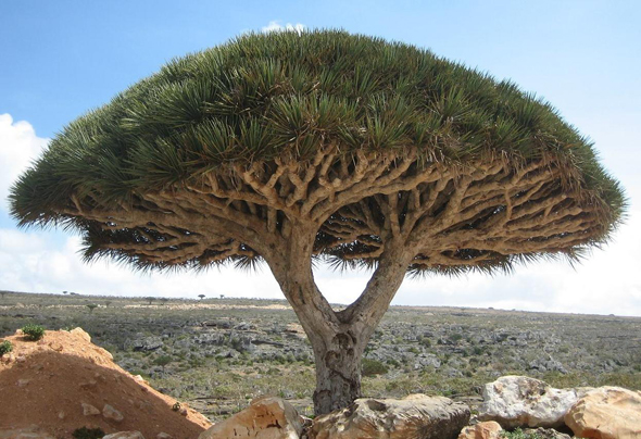 socotra_dragon_tree